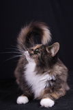 Portrait of young female cat Norwegian Stock Images