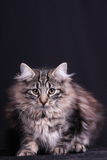 Portrait of young female cat Norwegian Stock Photos
