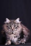 Portrait of young female cat Norwegian Stock Photos