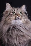 Portrait of young female cat Norwegian. Studio portrait of a female cat Norwegian Royalty Free Stock Images