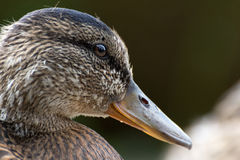 Portrait of a young female duck. A close headshot of a young female duck in Balloch Castle and Country Park Scotland Stock Images