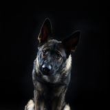 Portrait of a young female mullti-coloured German Shepherd dog Royalty Free Stock Photography