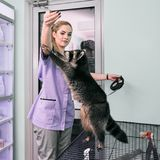 Vet feeding raccoon Stock Photo