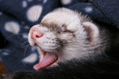 Portrait of young ferret Stock Photography
