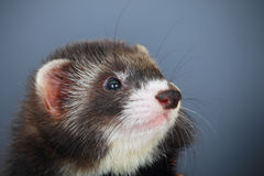 Portrait of young ferret Royalty Free Stock Photography