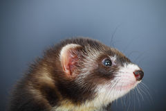 Portrait of young ferret Royalty Free Stock Photo