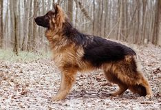 Portrait of Young Fluffy German Shepherd Dog in the Forest. Walks With a Pets Outdoor. Royalty Free Stock Photos