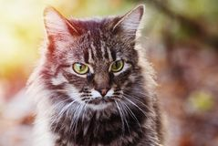 Portrait of Young fluffy gray domestic cat in a sunny forest. Adopted pet. Royalty Free Stock Image