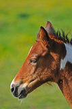 Portrait of young foal Royalty Free Stock Image