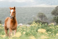 Portrait of a young foal in a blooming field stock photography