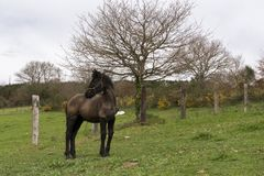 Little Friesian foal standing in a natural landscape stock images