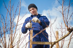 Gardener pruning apricot brunches using ladder. Portrait of young gardener pruning apricot brunches with the pruner Royalty Free Stock Photos