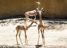 Portrait of a young Gazelle on the background of the wall. Stock Photo
