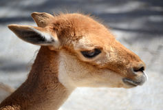 Portrait of a young gazelle Stock Photography