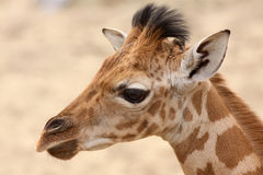 Portrait of a young giraffe Stock Photo