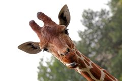 Portrait of a young giraffe Royalty Free Stock Images