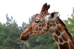 Portrait of a young giraffe Royalty Free Stock Photography