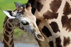 Portrait of a young giraffe Stock Photography