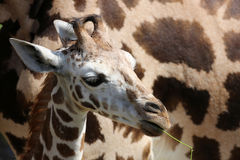 Portrait of a young giraffe Royalty Free Stock Photo