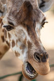 Portrait of a young giraffe Stock Image