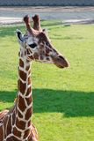 Portrait of a Young Giraffe, Rotterdam Zoo Stock Photos