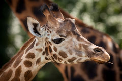 Portrait of a young giraffe Stock Photos