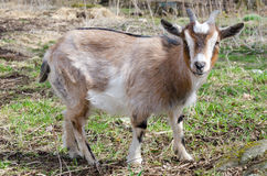 Portrait of young goat Stock Images