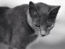Portrait of young gray cat Stock Images