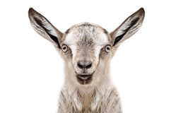Portrait of a young gray goat Royalty Free Stock Image