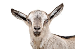 Portrait of a young gray goat Stock Images