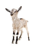 Portrait of a young gray goat Royalty Free Stock Photo