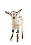 Portrait of a young gray goatling