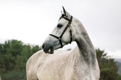 Portrait of beautiful grey horse on nature background royalty free stock photos