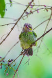 Portrait of young Green-eared Barbet Royalty Free Stock Image