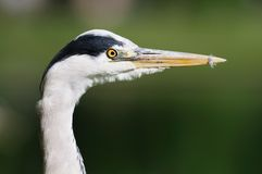 Portrait of young Grey Heron (ardea cinerea) Stock Photos
