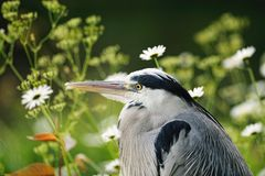 Portrait of young Grey Heron resting among flowers Stock Photos
