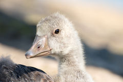 Portrait of a young Greylag Goose Chick Stock Photography