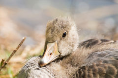 Portrait of a young Greylag Goose Chick Royalty Free Stock Images