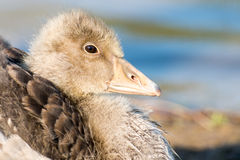 Portrait of a young Greylag Goose Chick Stock Images