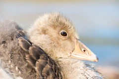 Portrait of a young Greylag Goose Chick Stock Image