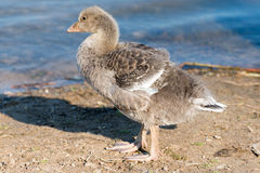 Portrait of a young Greylag Goose Chick Royalty Free Stock Photo