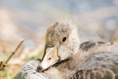 Portrait of a young Greylag Goose Chick Royalty Free Stock Photography