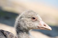 Portrait of a young Greylag Goose Chick Stock Photos