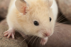 Portrait of young hamster. Royalty Free Stock Photography