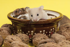 Portrait of young hamster and walnuts. Stock Images