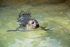 Portrait of young harbor seal Stock Photo