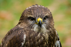 Portrait of a young hawk Royalty Free Stock Images