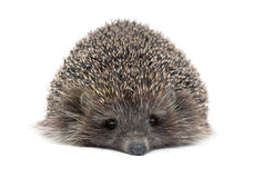 Portrait of a young hedgehog on white background Stock Images