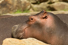Portrait of a young hippo Stock Images