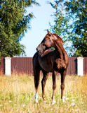 Portrait of a young horse, walking on the loose. Portrait of a young brown horse, walking on the loose royalty free stock images